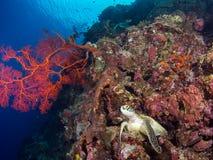 Schildkröte auf einem Korallenriff bei Bunaken Lizenzfreie Stockfotos