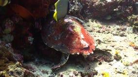 Schildkröte auf einem Riff auf der Suche nach Lebensmittel stock video