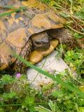 Schildkröte auf einem Stein im Gras Stockfoto