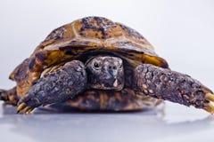 Schildkröte auf einem weißen Hintergrund Lizenzfreies Stockfoto