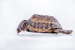 Schildkröte auf einem weißen Hintergrund Stockfoto
