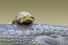 Schildkröte auf Gharial Stockbilder