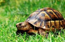 Schildkröte auf grünem Gras Lizenzfreie Stockfotos