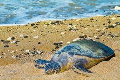 Schildkröte auf hawaiischem Strand Stockbilder