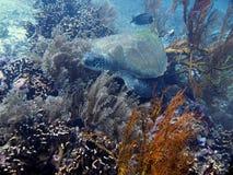 Schildkröte auf Koralle Lizenzfreie Stockfotos