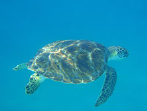 Schildkröte auf Meeresgrund Lizenzfreies Stockbild