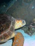 Schildkröte auf Riff Stockbilder