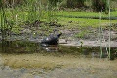 Schildkröte auf Riverbank Lizenzfreie Stockbilder