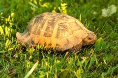 Schildkröte auf Sonnenuntergangleuchte im Gras Lizenzfreie Stockfotografie