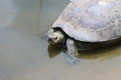 Schildkröte auf Wasser Lizenzfreie Stockfotografie