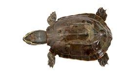 Schildkröte auf weißem Hintergrund Lizenzfreie Stockfotos