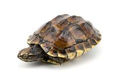 Schildkröte auf weißem Hintergrund Lizenzfreie Stockbilder