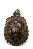 Schildkröte auf weißem Hintergrund Stockfoto