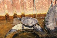 Schildkröte in dem Teich lizenzfreies stockfoto