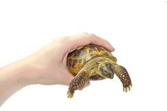 Schildkröte in den Händen Lizenzfreie Stockbilder