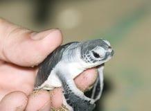 Schildkröte in der Mannhand. Lizenzfreies Stockbild