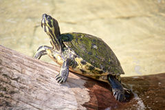 Schildkröte in der Sonne Lizenzfreies Stockfoto