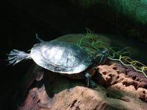 Schildkröte in der Sonne stockfoto