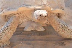 Schildkröte in der Wüste Stockfotos