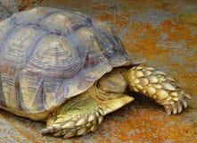 Schildkröte des hohen Alters Stockfotos