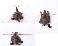 Schildkröte des neuen Jahres Stockfoto