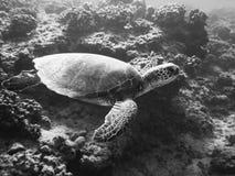 Schildkröte, die über Riff kreuzt lizenzfreies stockfoto