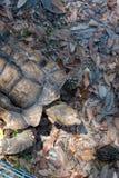 Schildkröte, die auf Blätter geht Lizenzfreie Stockbilder