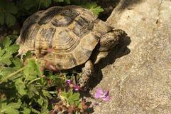 Schildkröte, die auf den Stein kriecht Stockbilder
