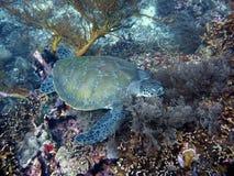Schildkröte, die auf der Koralle schläft Lizenzfreie Stockfotos
