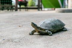 Schildkröte, die auf die Straße geht Stockfotos