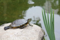 Schildkröte, die auf einem Stein sich aalt Lizenzfreies Stockfoto
