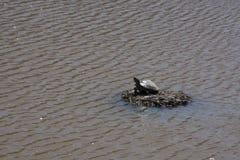Schildkröte, die auf einer Insel von Zweigen sich sonnt stockfoto