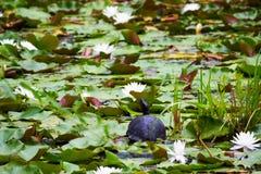 Schildkröte, die auf lilypad sitzt Lizenzfreies Stockfoto
