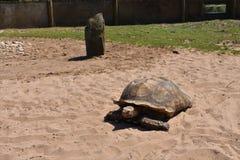 Schildkröte, die auf Sand in einem Zoo Großbritannien geht lizenzfreies stockfoto