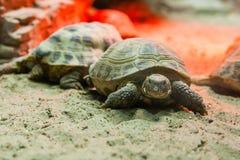 Schildkröte, die auf Sand geht lizenzfreie stockfotos