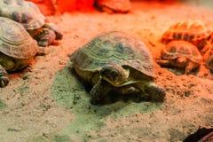 Schildkröte, die auf Sand geht lizenzfreies stockbild