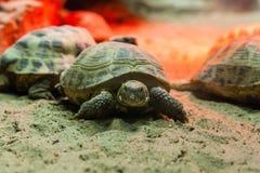 Schildkröte, die auf Sand geht stockbild
