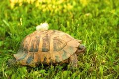 Schildkröte, die auf Sonnenuntergangleuchte im Gras geht Stockbilder