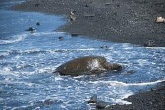 Schildkröte, die auf Ufer kriecht Stockfotos