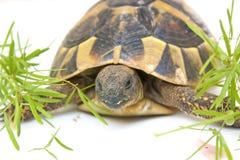 Schildkröte, die auf Weiß geht Stockbild