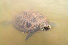 Schildkröte, die aus Wasser heraus schaut Lizenzfreie Stockfotografie