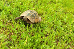 Schildkröte, die in das Gras geht Lizenzfreies Stockfoto