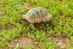 Schildkröte, die in das Gras, Seitenansicht geht Lizenzfreies Stockbild