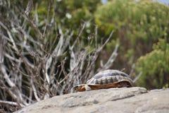 Schildkröte, die ein Bad in der Sonne hat Stockfoto