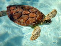 Schildkröte, die für Luft aufkommt Stockbilder
