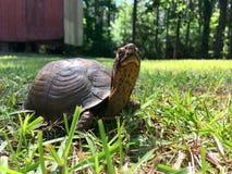 Schildkröte, die in Gras geht Stockfotos