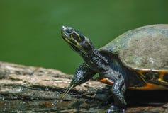 Schildkröte, die heraus an einem Klotz hängt! Stockbilder