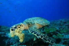 Schildkröte, die Koralle isst Lizenzfreie Stockfotografie