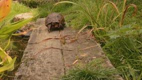 Schildkröte, die schmale Brücke kreuzt Stockfotografie