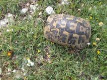 Schildkröte, die in seinem Shell sich versteckt lizenzfreie stockfotos